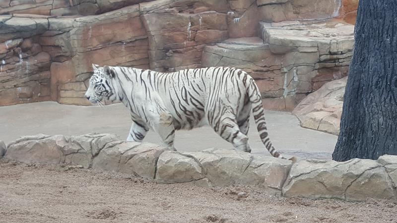 Irvine Park & Zoo, Tiger