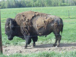 Buffalo along Highway 52 in Langlade County, Wisconsin