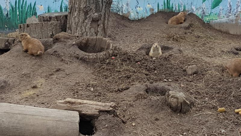 Prairie dogs at Wildwood Zoo, Marshfield