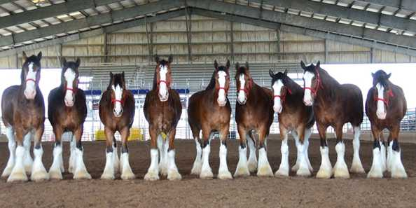 World Clydesdale Show, Madison, October 25-28, 2018