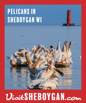 Pelicans on Lake Michigan - Visit Sheboygan