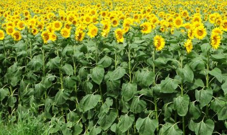 Babette's Seeds of Hope along Wisconsin Highway 85, one of the state's sunflower farms