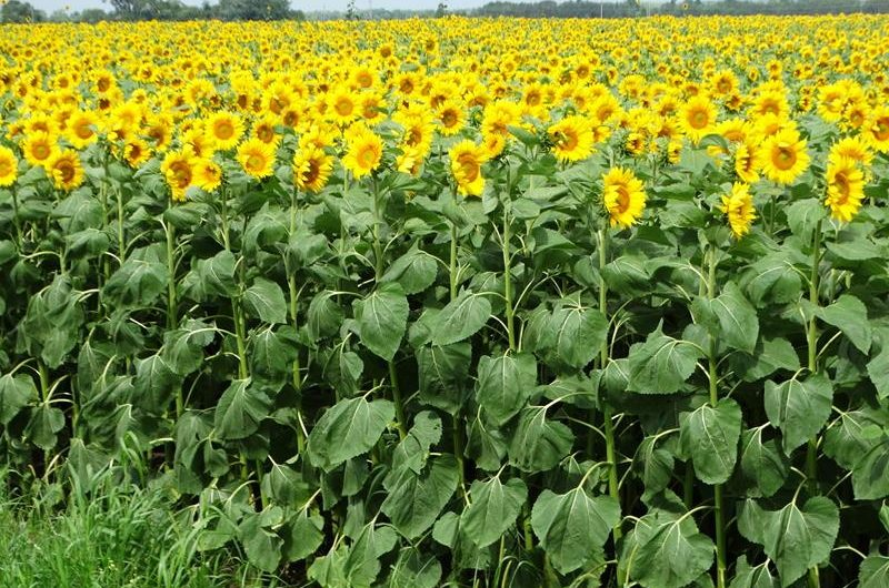 Sunflower Farms Across Wisconsin – here's where to go frolicking to find them