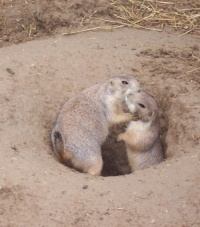 Prairie dogs enjoying each other at Manitowoc's Lincoln Park Zoo.