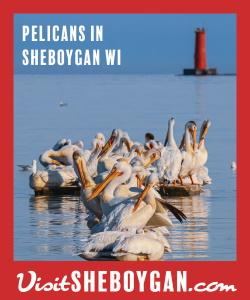 Pelicans - Visit Sheboygan