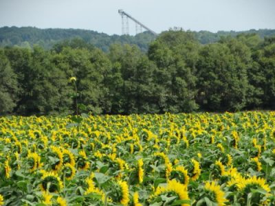 Babette's Seeds of Hope Sunflowers with Silver Mine Ski Jump in the background, just outside of Eau Claire