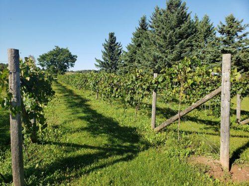 Vineyards at Rushford Meadery & Winery outside Omro, Wisconsin near Highway 21
