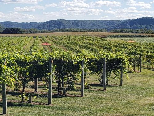 View of the vines and bluffs at Elmaro Vineyard & Winery, Trempealeau, Wisconsin