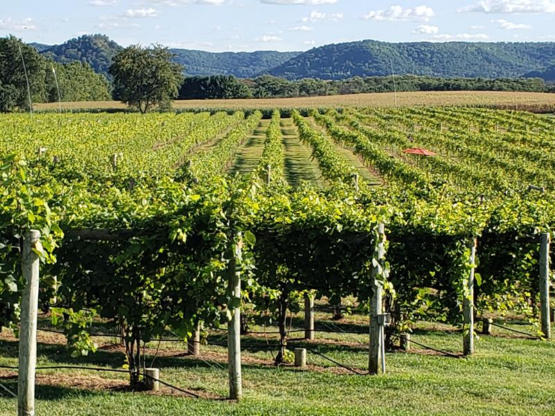 Vineyards with a view of the Driftless Area bluffs at Elmaro Vineyard & Winery, Trempealeau, Wisconsin, very close to the Mississippi River